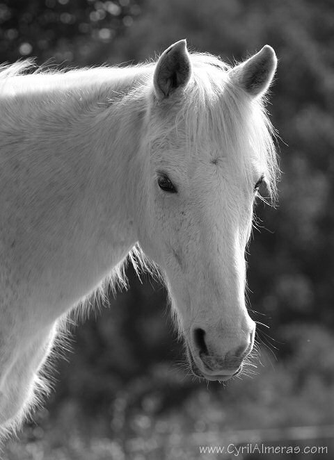 photo de cheval boulonnais