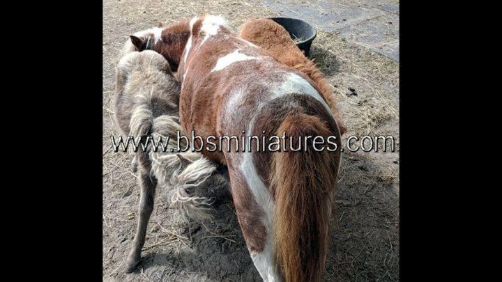 Bébés jumeaux chevaux cheval miniature au Ranch BBSMiniatures