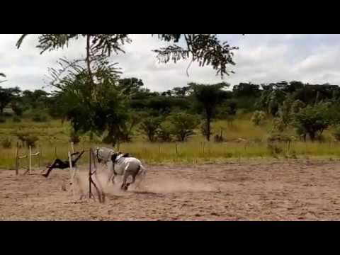 Horse jumping quickly becomes acrobatics (epic fail)