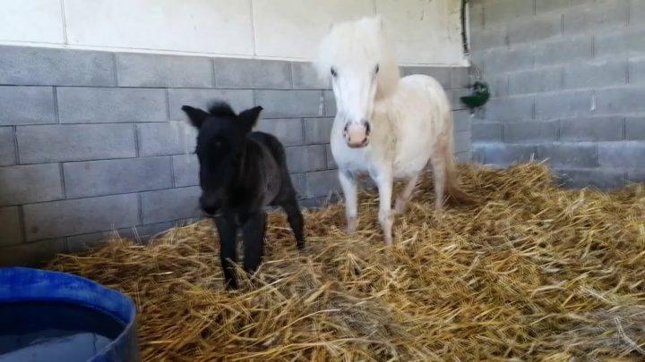 😍 Les premiers pas d'un bébé poulain poney