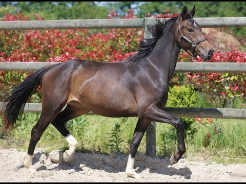 Mariposa du feuillard, cheval de sport à vendre, dressage, Jument KWPN par l'étalon Olivi x Gribaldi