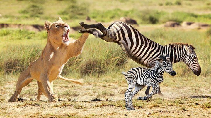Mère Zebra Save Baby Fail de l'attaque du Lion.  Vrai Figth 2020