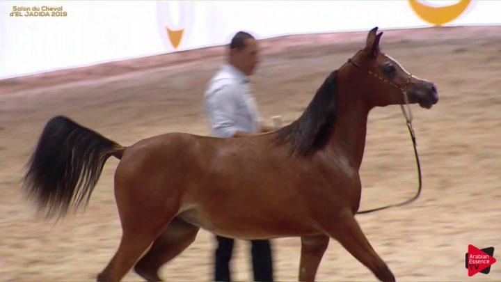 N 41 WARDA DE DREAM AH Moroccan Breeders 'Cup 2019 Yearling Fillies Classe 1B