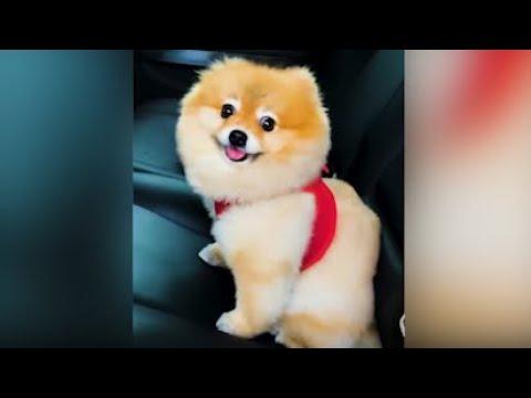 PlayBoy Dog, chiens drôles, chiots mignons.  Meilleure compilation de décembre 2020