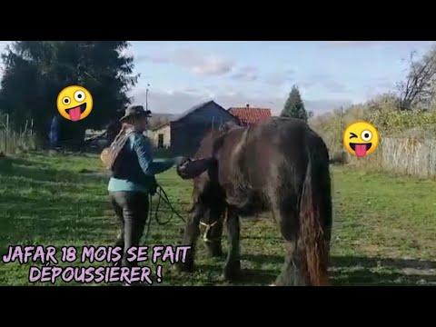 Poulain Trait du Nord Comment dépoussiérer son cheval 😂avec les moyens du bord méthode lowcost 😂
