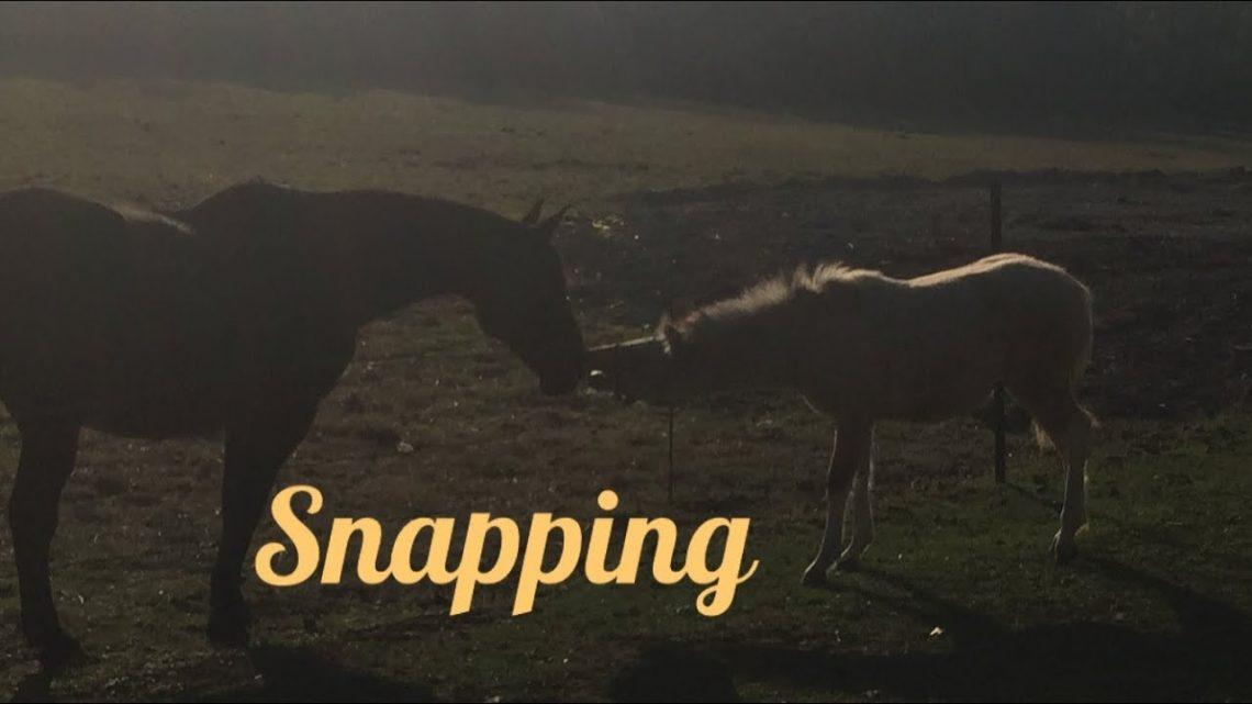 Snapping ou machouillement chez le poulain