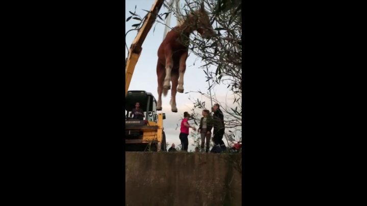 VIDÉO.  Un poulain fait une chute de plusieurs mètres dans un puits