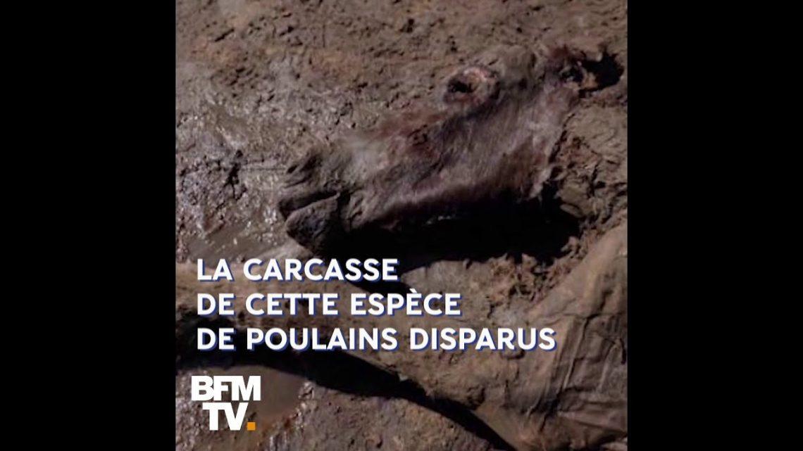 Vieux de 42.000 ans, ce poulain est conservé de manière intacte