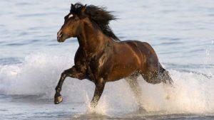 photo de cheval ardennais