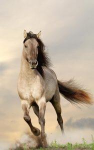 photo de cheval bachkir