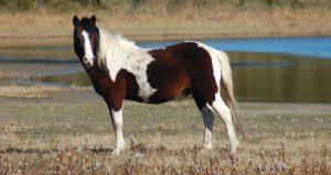 photo de cheval chincoteague - assateague