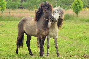 photo de cheval cleveland bay