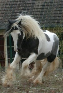photo de cheval cob normand