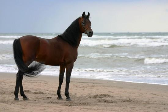 photo de cheval holsteiner - holstein