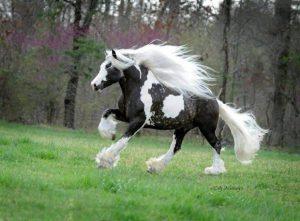 photo de cheval lipizzan