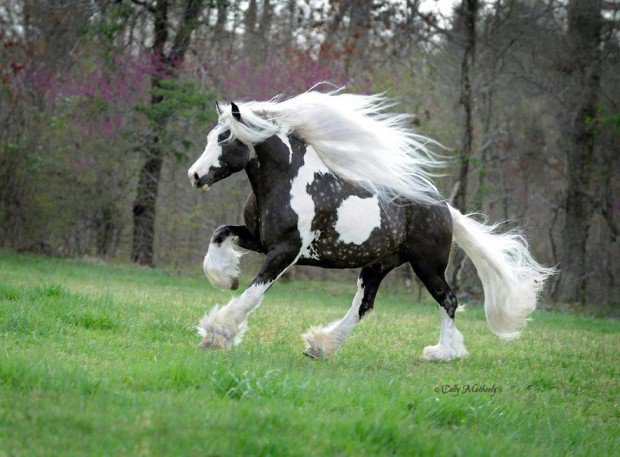 photo de cheval lipizzan