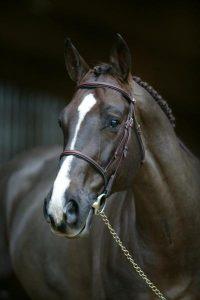 photo de cheval selle francais