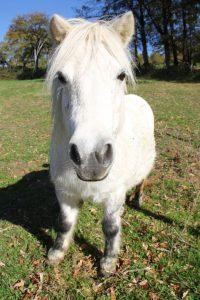 photo de  poney des açores