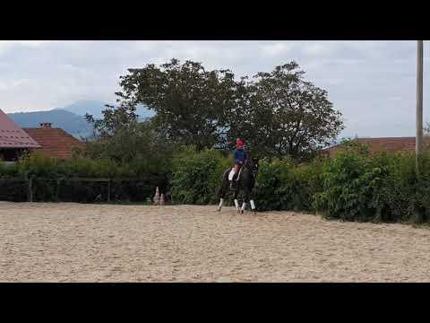 A vendre cheval dressage 7 ans