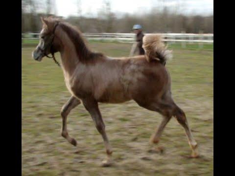 Cheval Arabe, pur sang arabe Hypnotic SH, poulain 2019 à vendre