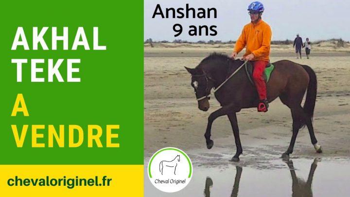 Cheval à vendre |  Akhal Teke |  Jument de 9 ans Anshan |  sur la plage