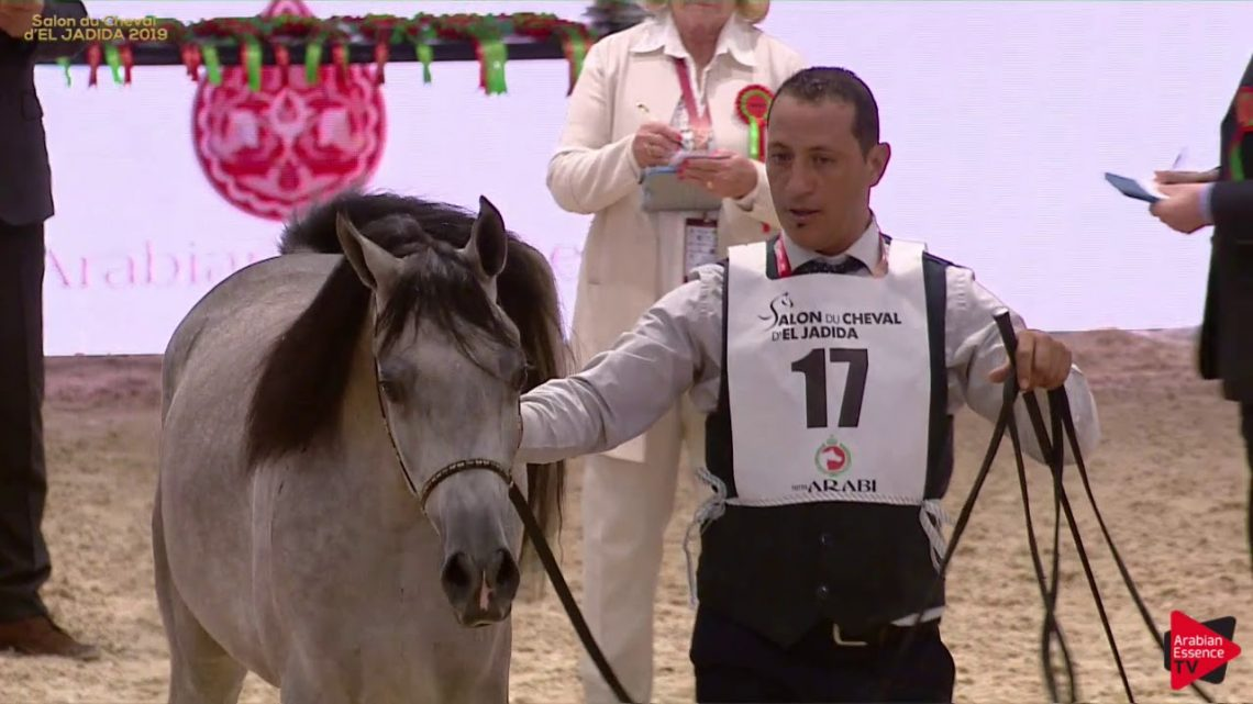 N 17 EMNEEA AL SHAHANIA Salon du Cheval d'El Jadida classe A spectacle Yearling Fillies Classe 1B