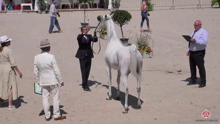 N 39 WEDDAD AL SHAHANIA   2020 Vichy   Championnat de France du Cheval Arabe   4 6 Years Old Mares C