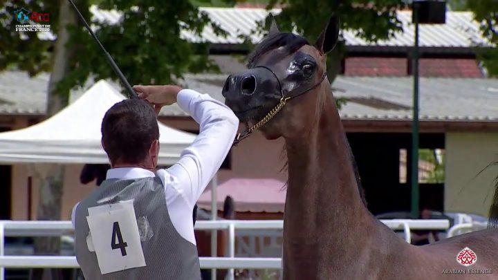 N 4 ATHENA DOMITIA   2020 Vichy   Championnat de France du Cheval Arabe   Yearling Fillies Champions