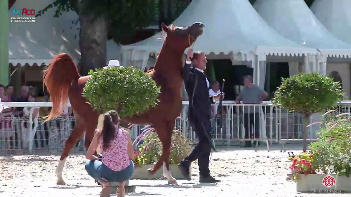 N 55 HABIBATE NIARCHOS   2020 Vichy   Championnat de France du Cheval Arabe   7 Years Old and Older