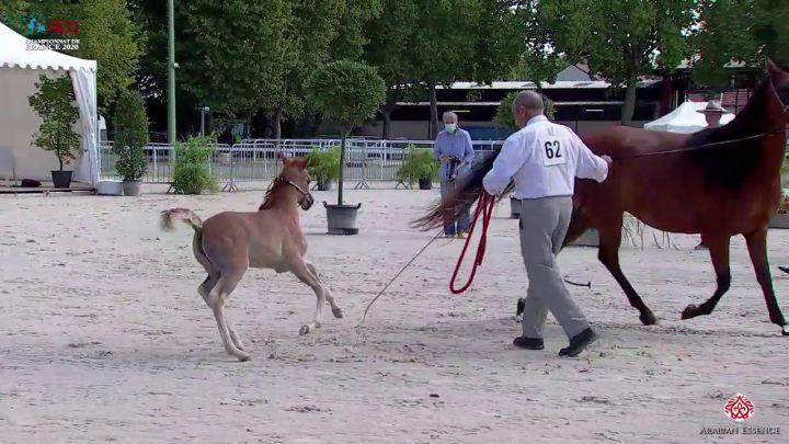 N 62 SH DANA CRISTAL   2020 Vichy   Championnat de France du Cheval Arabe   Filly Foals Championship