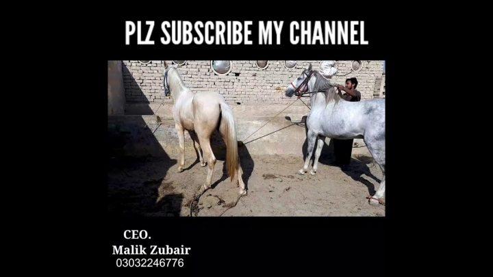 Son agressif du cheval    Sawa Badsha disponible    #shorts # ytshorts #malikhorsefarm
