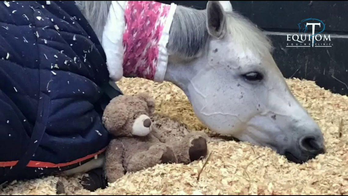 Un cheval malade a besoin de son doudou
