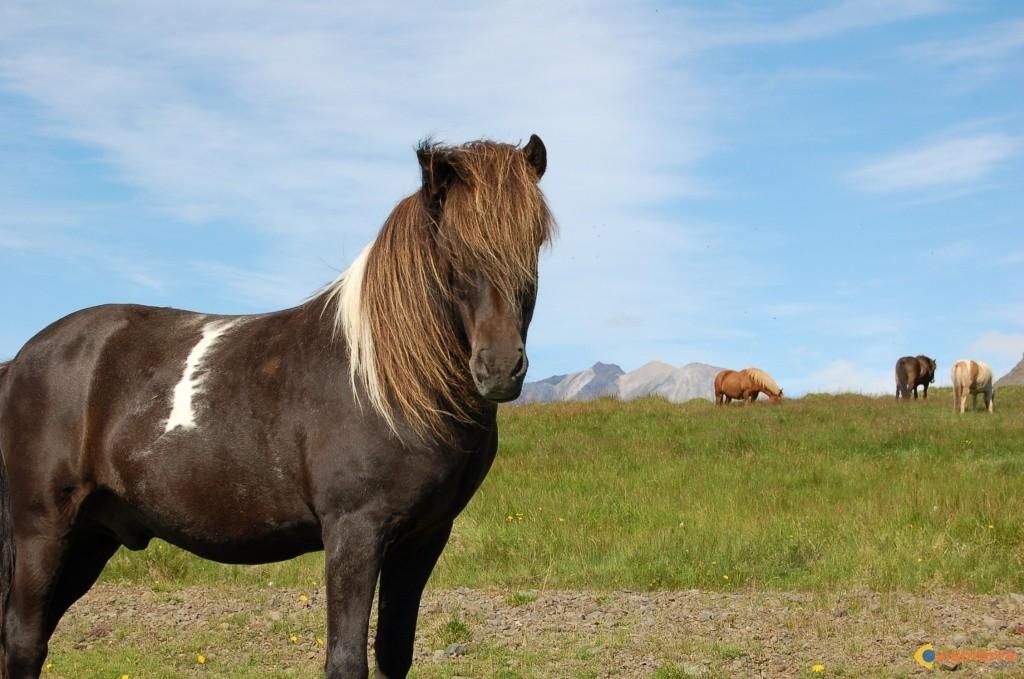 coloriage poney cheval