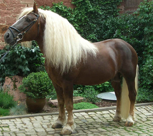 photo de cheval black forest chestnut