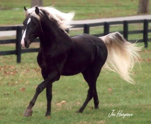 photo de cheval boudienny