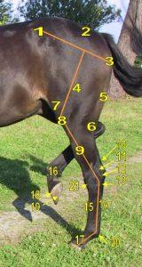 photo de cheval cheval flamand