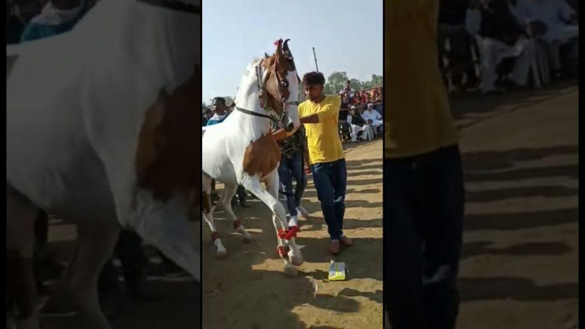 Danse du cheval |  Cheval Marwari |  Udta Teer |  Danse du cheval