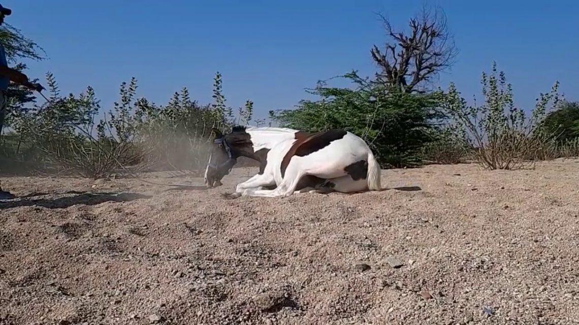 cheval stetus 😍     équitation     cheval marwadi     cheval rajsthani     #rajsthan