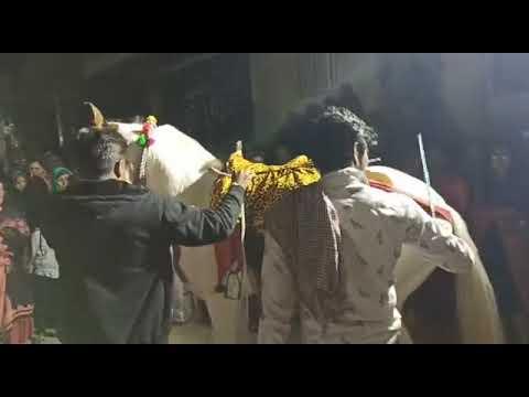 Cheval Marwari |  Cheval dansant |  Udta Teer |  Danse du cheval Marwari