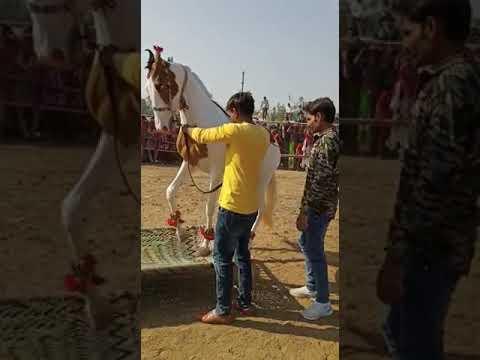Cheval Marwari    Udta Teer    #shorts    Danse du cheval    Danse du cheval Marwari