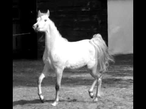 Cheval arabe, pur sang arabe: Hastalia SH