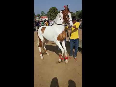 Danse du cheval |  Cheval Marwari |  Udta Teer |  #short