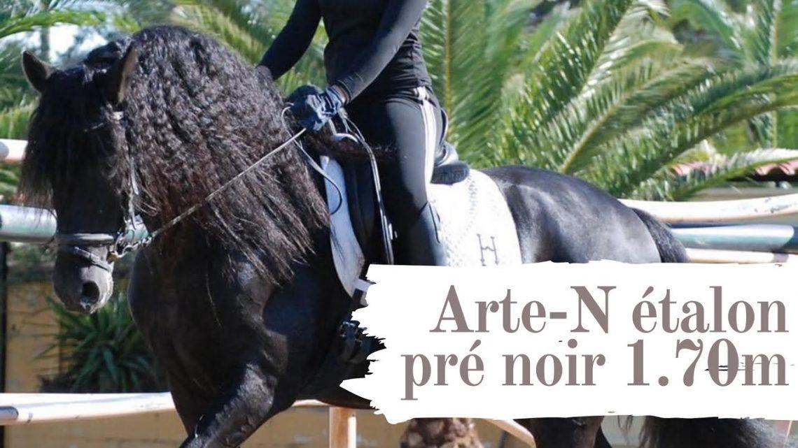 Grand cheval Espagnol PRE noir