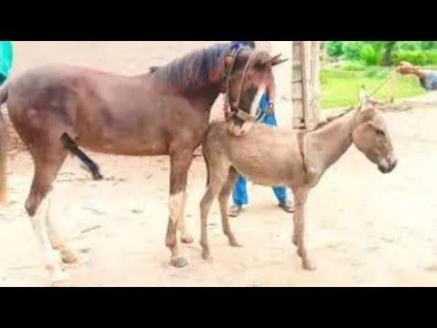 Horse Donkey rencontre pour la première fois une vidéo de sexe