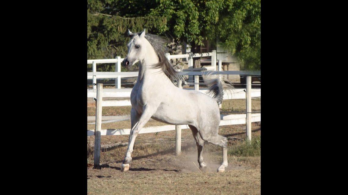 La plus belle photographie de chevaux arabes qui ont partagé notre vie ✿ ♥ ‿ ♥ ✿