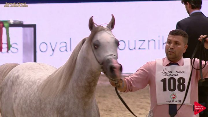 N 108 ADHAM MAMS   Salon du Cheval d'El Jadida class A show   2 Years Old Colts Class 7