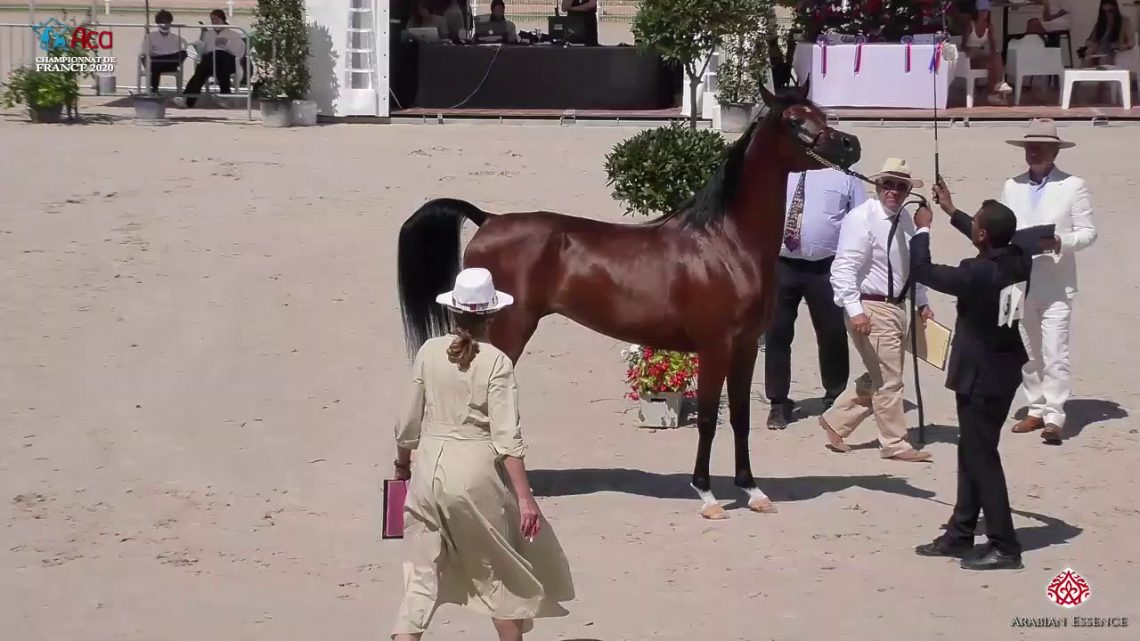 N 42 AZNA CHAH NAME   2020 Vichy   Championnat de France du Cheval Arabe   4 6 Years Old Mares Class