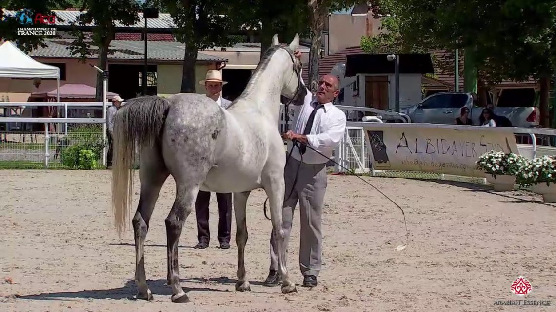 N 47 BELLE AMBAR   2020 Vichy   Championnat de France du Cheval Arabe   7 Years Old and Older Mares