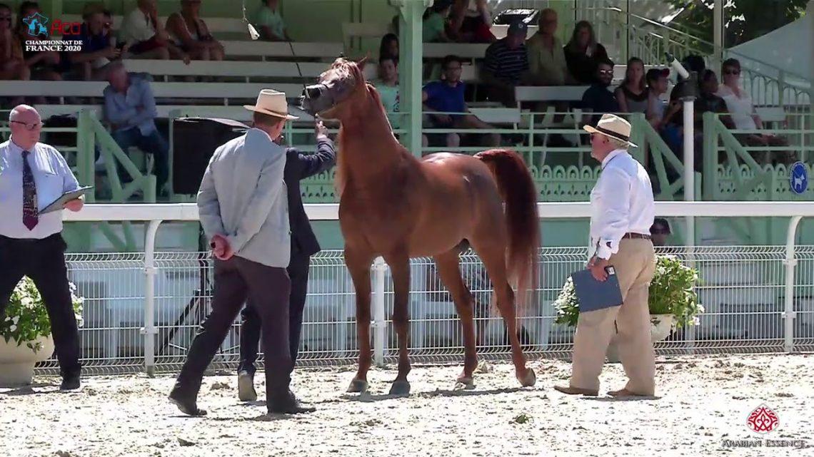 N 52 PEGASE DU CASTEL   2020 Vichy   Championnat de France du Cheval Arabe   4 6 Years Old Stallions