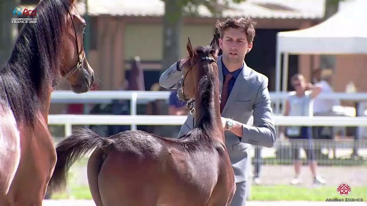 N 68 SHAZAM DIVINE IDYLLE   2020 Vichy   Championnat de France du Cheval Arabe   Colt Foals Champion